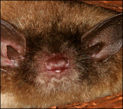 Bat control in Radcliff