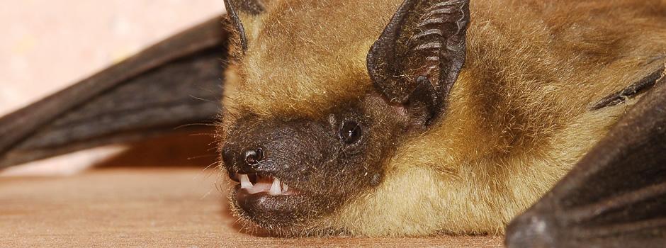 Radcliff Bat Control