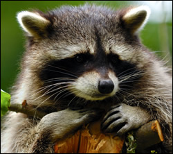 Raccoon control in Radcliff