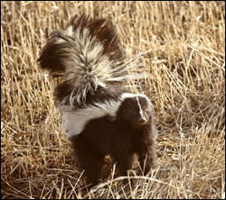 Skunk control in Radcliff