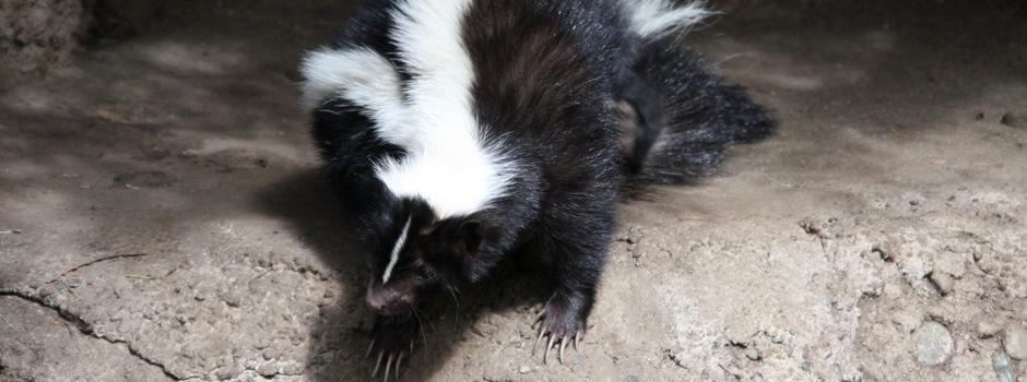 Skunk Control Radcliff
