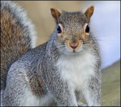 Squirrel control in Radcliff