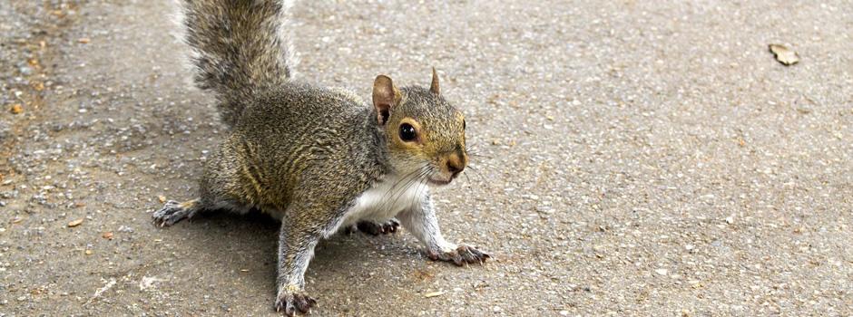 Squirrel Control Radcliff